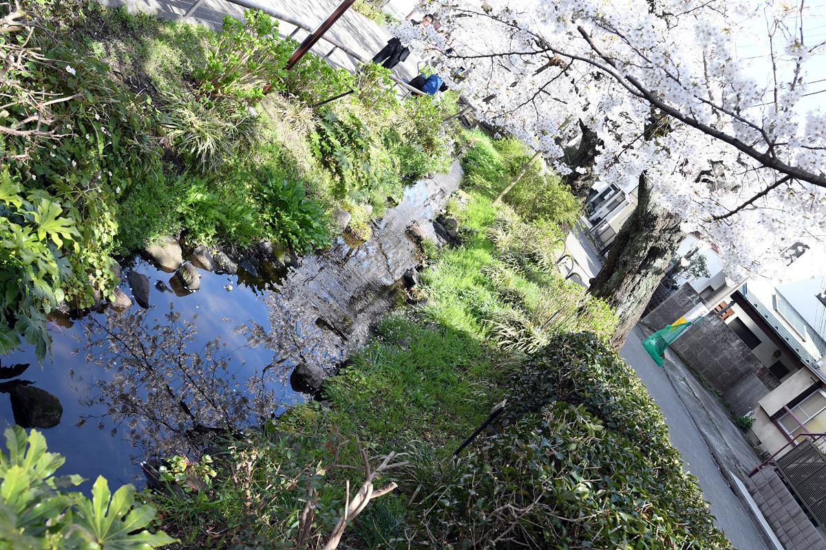 [満開!]北沢川緑道 桜の状況 2018-03-27