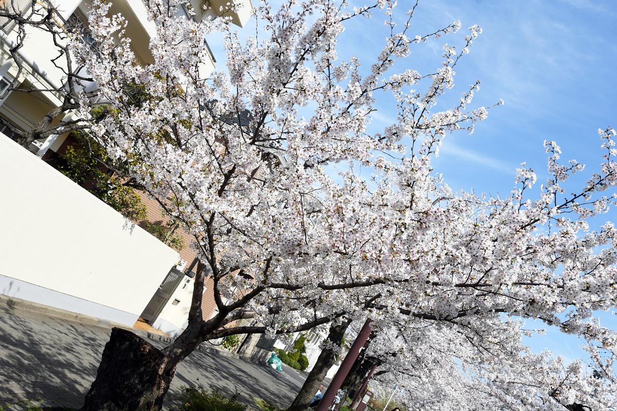 毎年気になっているこの桜