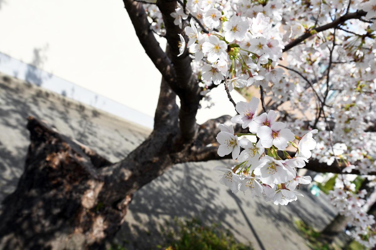 見事に桜の花を咲かせてくれています。昨年よりさらに成長しましたね