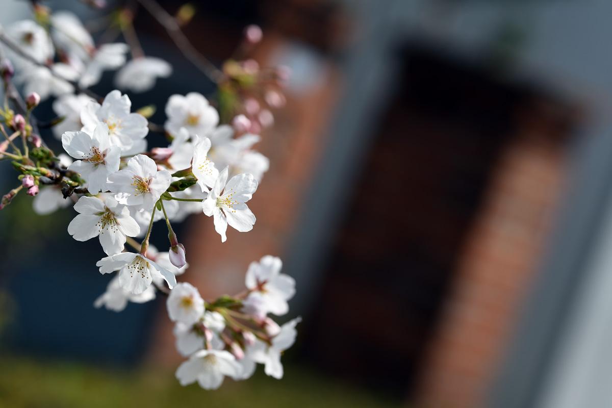 残された坂口安吾の文学碑を彩る桜
