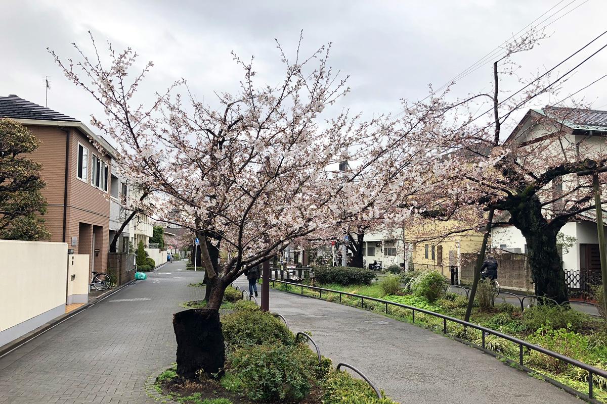 この桜の木が年々大きくなっていくのが楽しみ