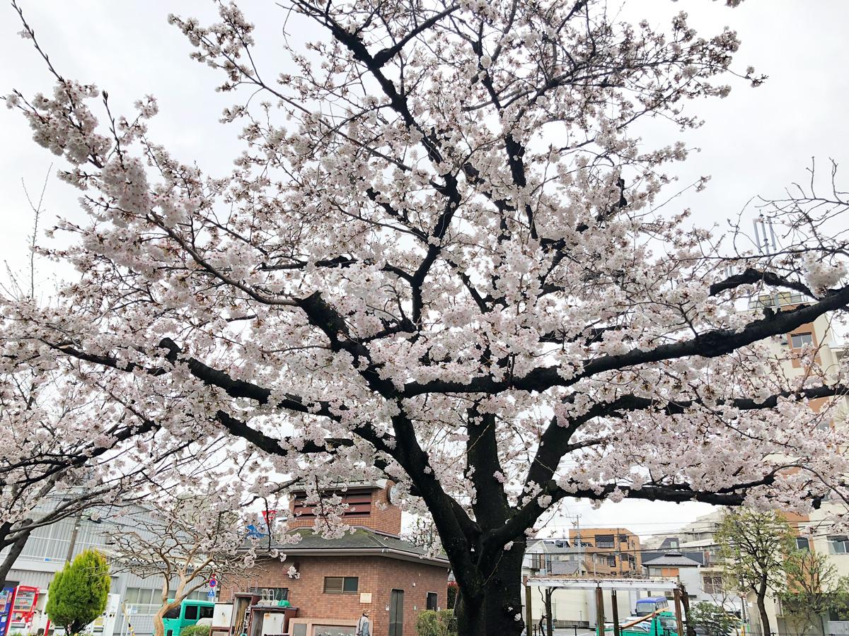 代沢せせらぎ公園にある満開の桜