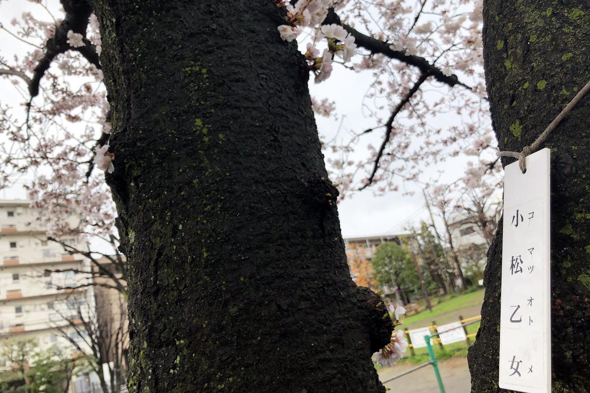 この桜は「小松乙女」という桜で、ソメイヨシノより少し開花が早い種類です