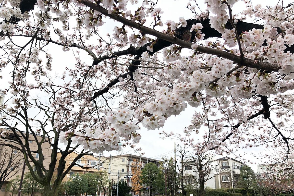 この桜があるので、この公園の花見シーズンは他より長いです