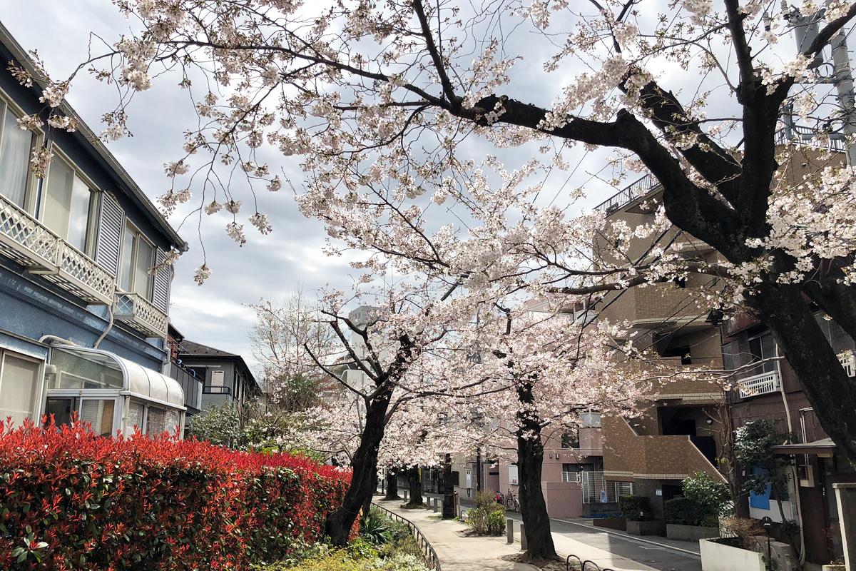 [七分咲き]北沢川緑道 桜の状況 2018-03-23