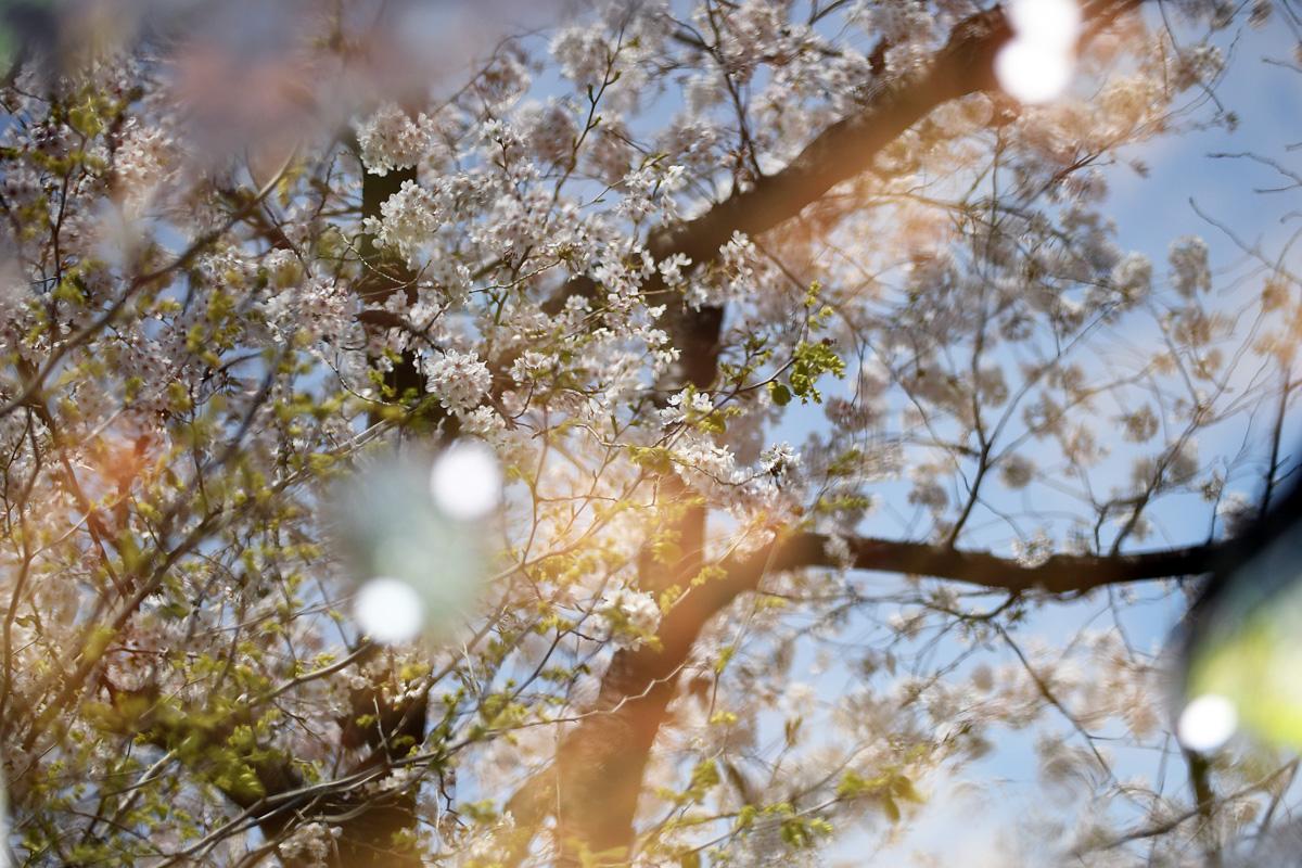 北沢川緑道の桜