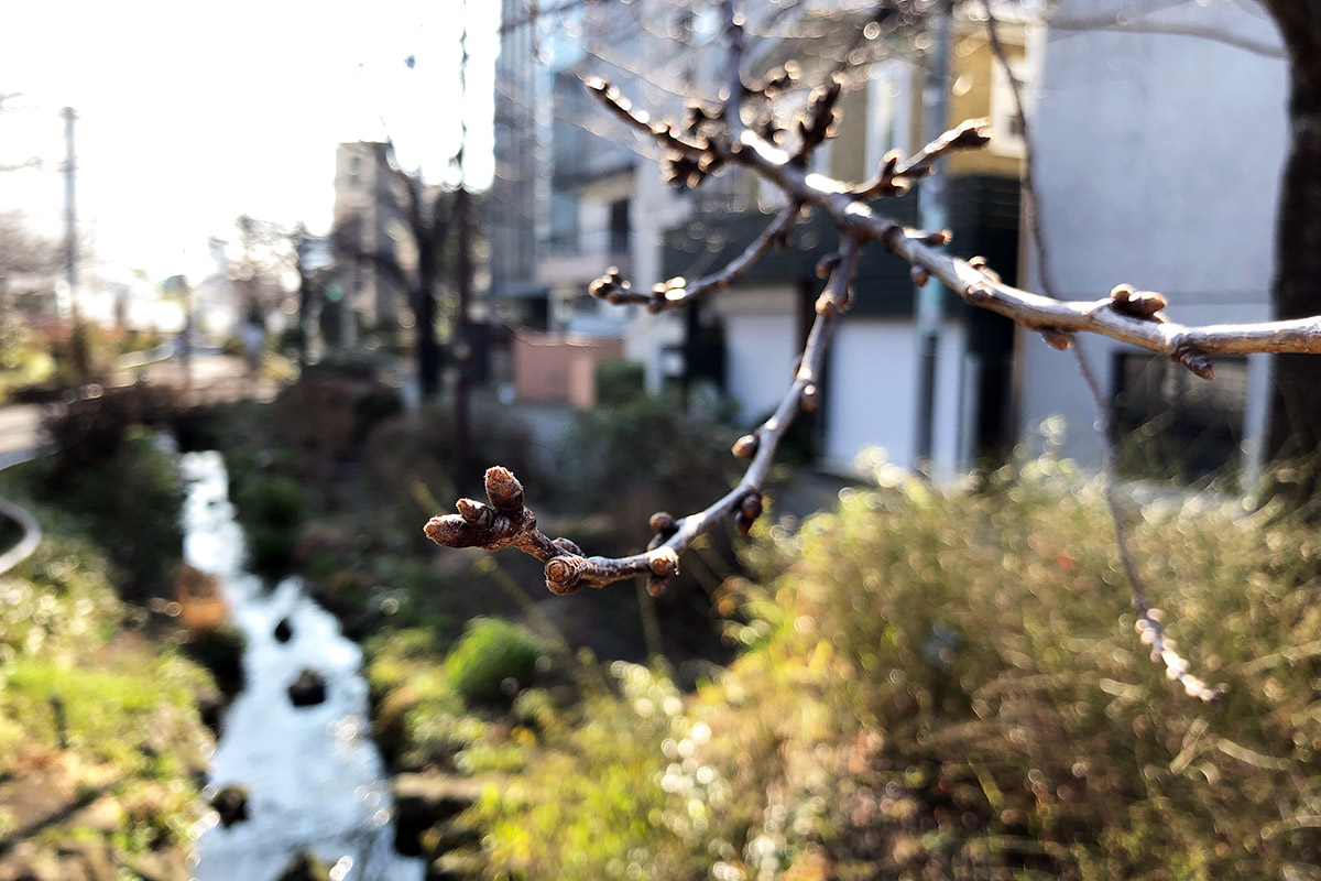 北沢川緑道 桜の状況 2019-03-05