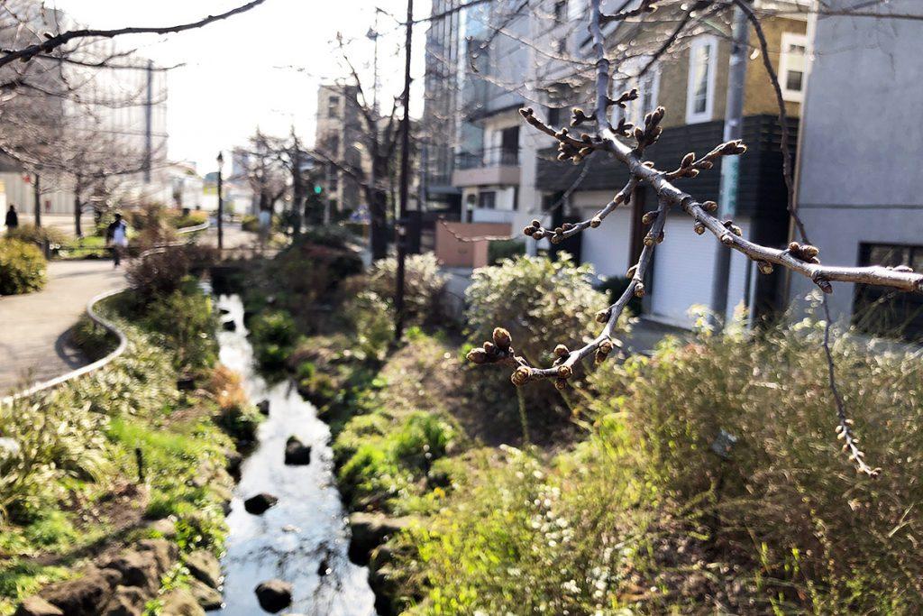 北沢川緑道 桜の状況 2019-03-12