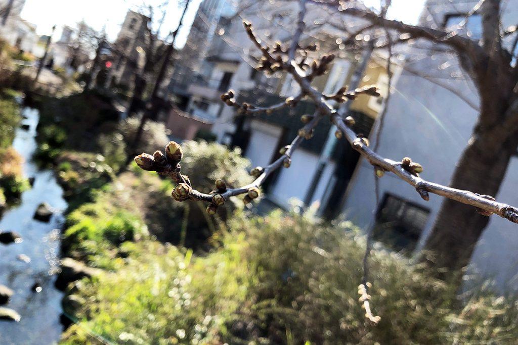 北沢川緑道 桜の状況 2019-03-14