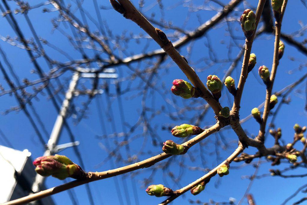 北沢川緑道 桜の状況 2019-03-18