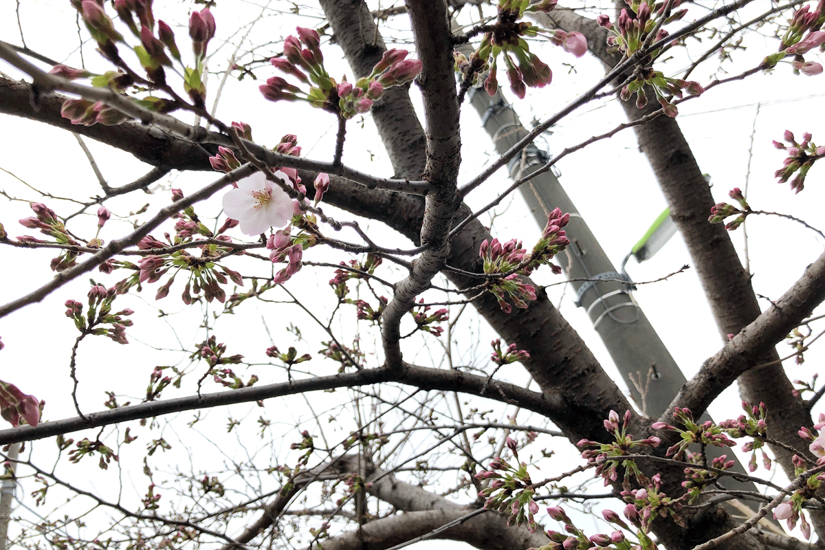 【開花!】北沢川緑道 桜の状況 2019-03-21