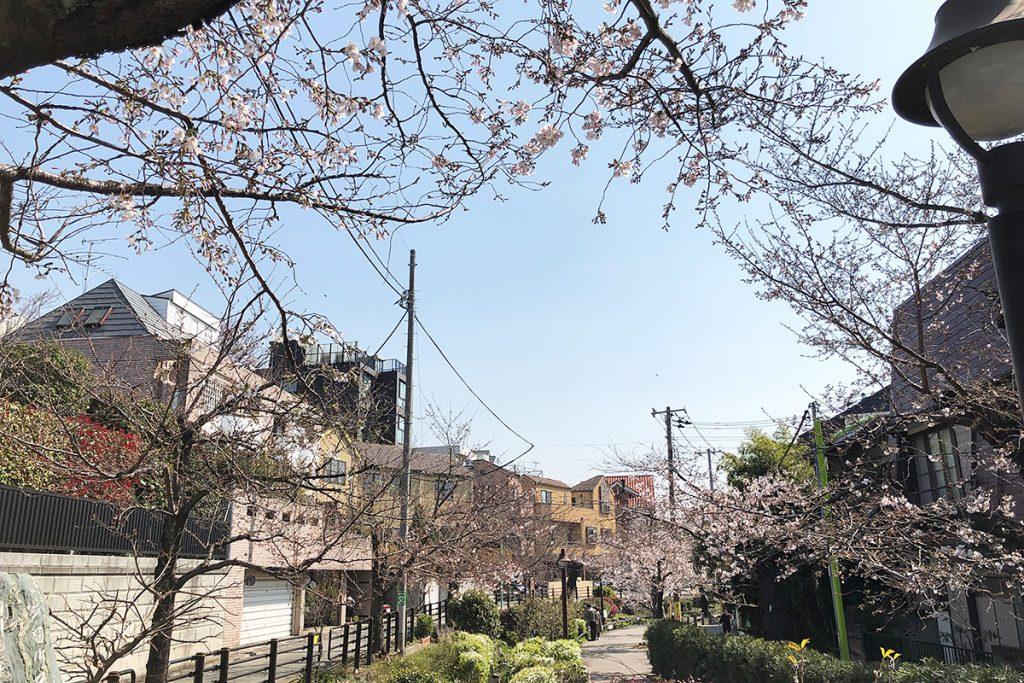 【五分咲き】北沢川緑道 桜の状況 2019-03-27