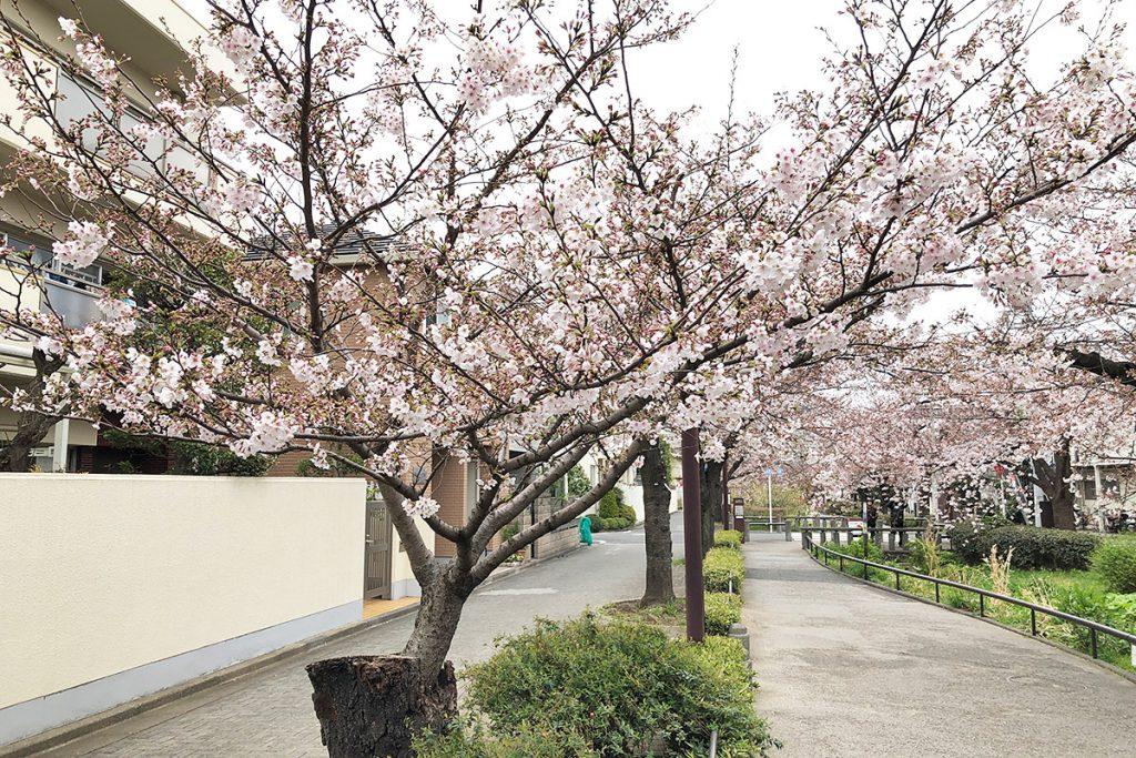 【七分咲き】北沢川緑道 桜の状況 2019-03-29