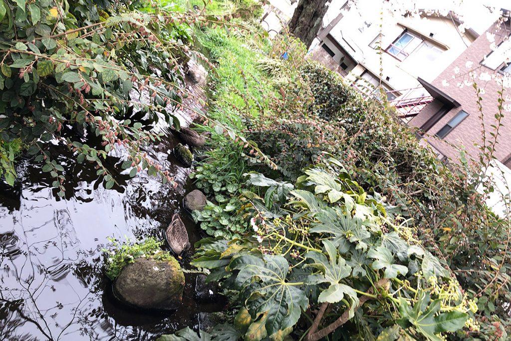 そうそう、今年も北沢川緑道にカルガモのつがいが来てましたよー