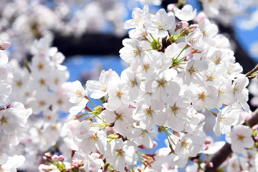 【満開!】北沢川緑道 桜の状況 2019-04-01