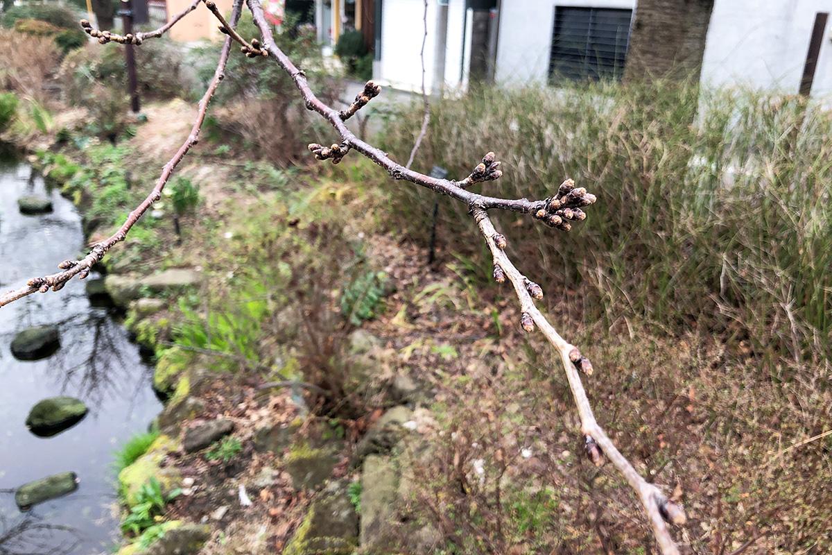 北沢川緑道 桜の状況 2020-02-20