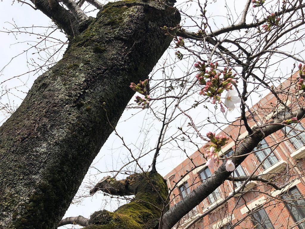 北沢川緑道 桜の状況 2020年3月13日