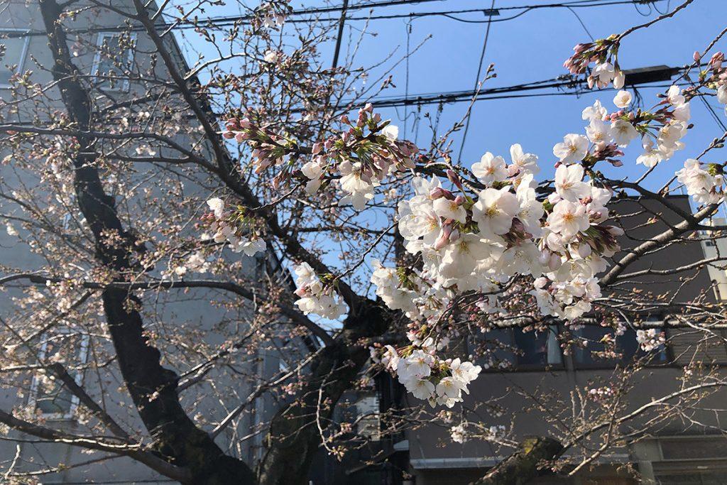 北沢川緑道 桜の状況 2020年3月19日