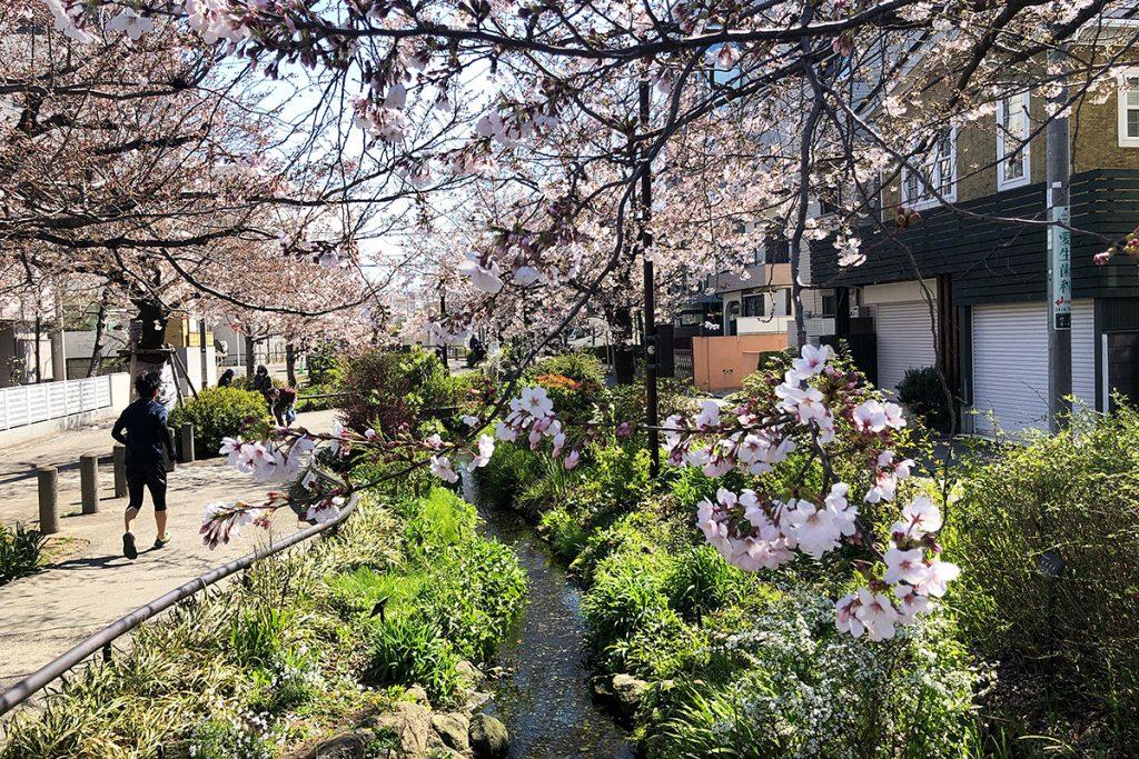 北沢川緑道 桜の状況 2020年3月24日