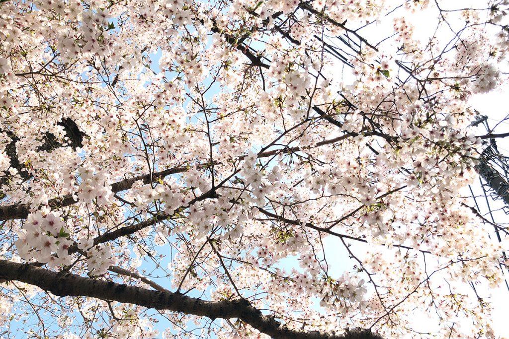 北沢川緑道 桜の状況 2020年3月26日