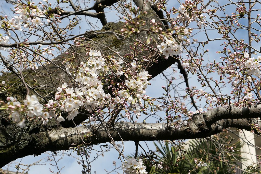 北沢川緑道 桜の状況 2020年3月17日