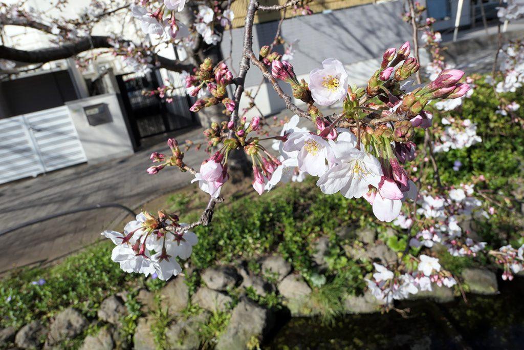 北沢川緑道 桜の状況 2020年3月20日