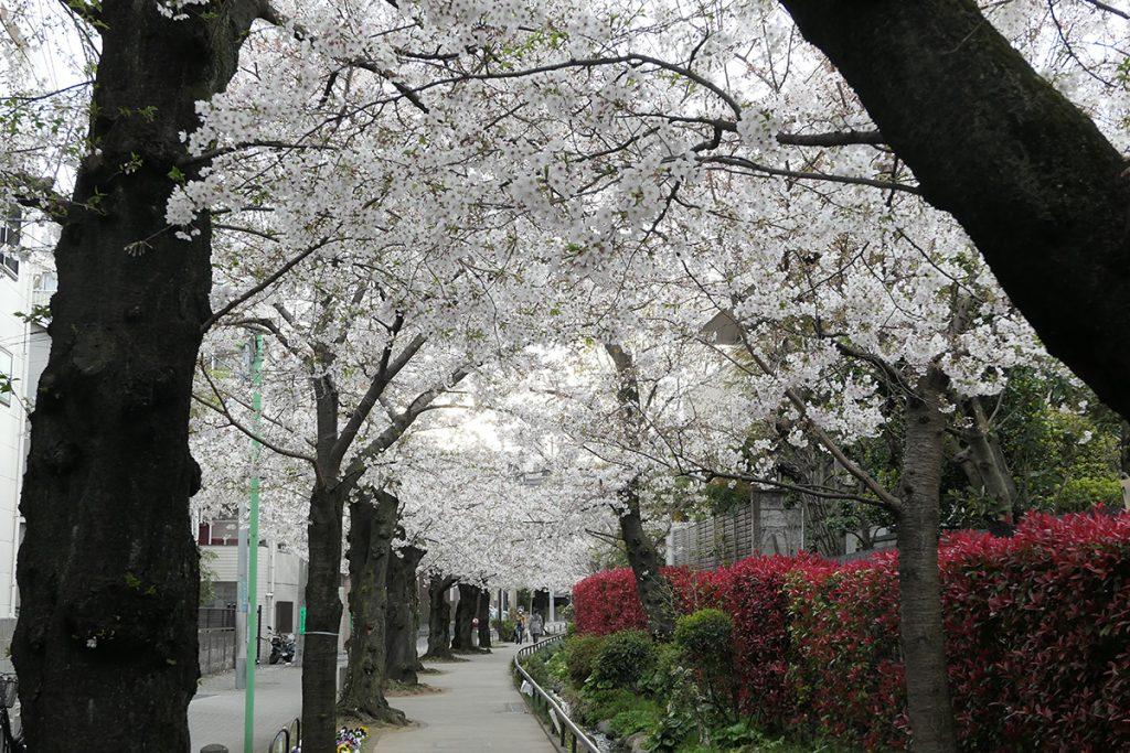 【満開】北沢川緑道 桜の状況 2020年3月27日