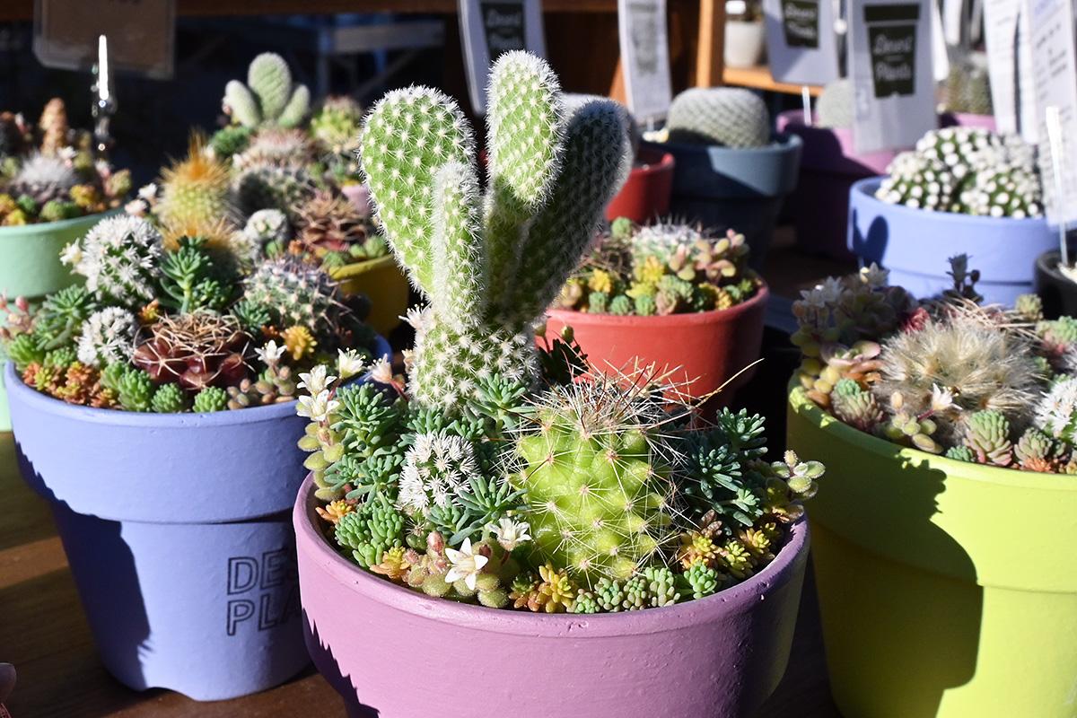 こちらはDesert Plantsさんのサボテン販売コーナー