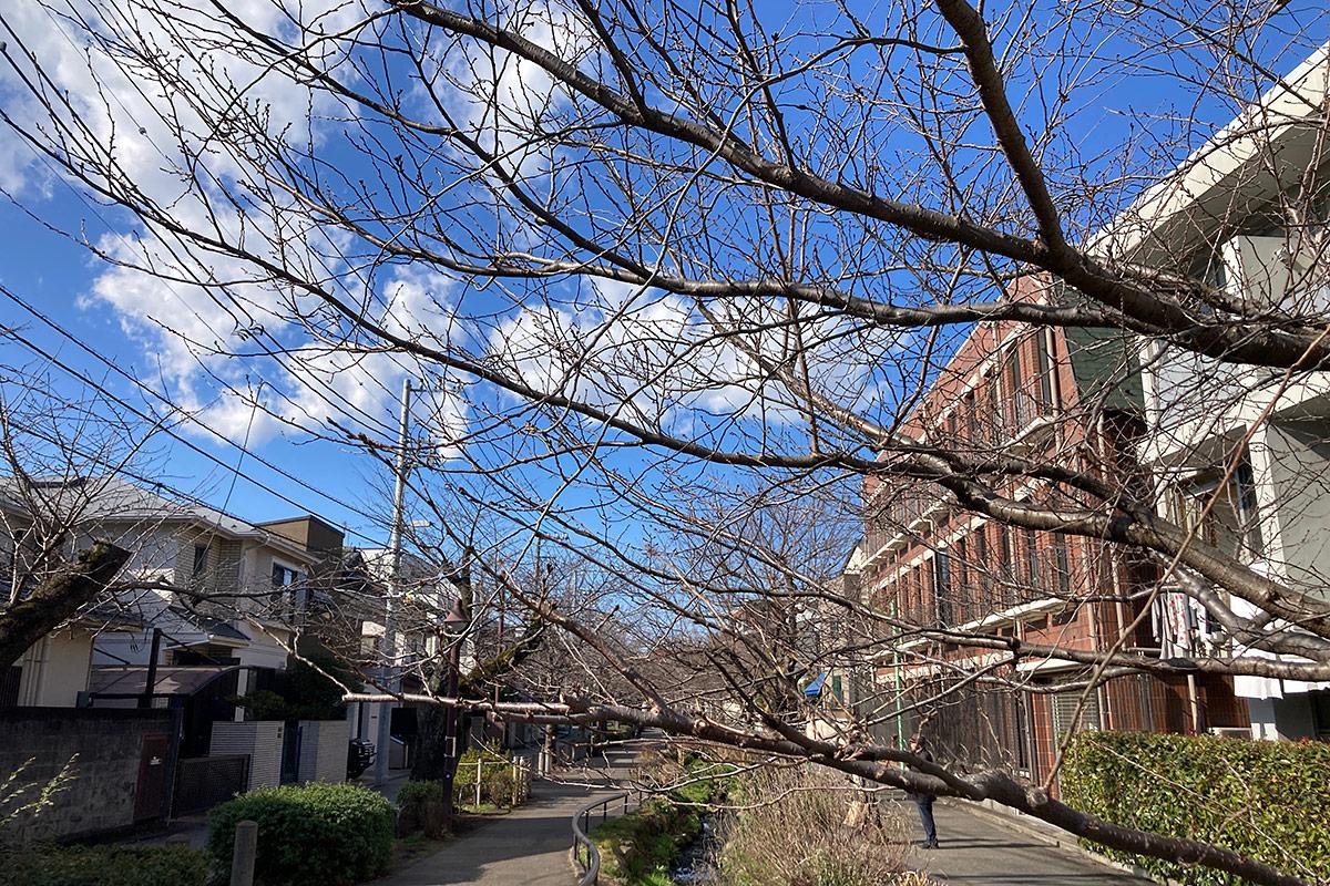 2021/1/29時点の北沢川緑道の桜の状況