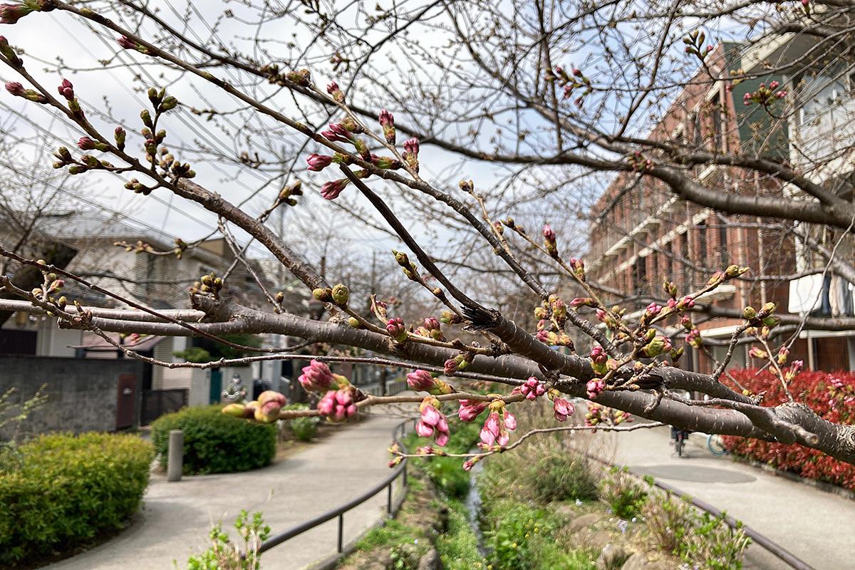 2021/3/19時点の北沢川緑道の桜の状況