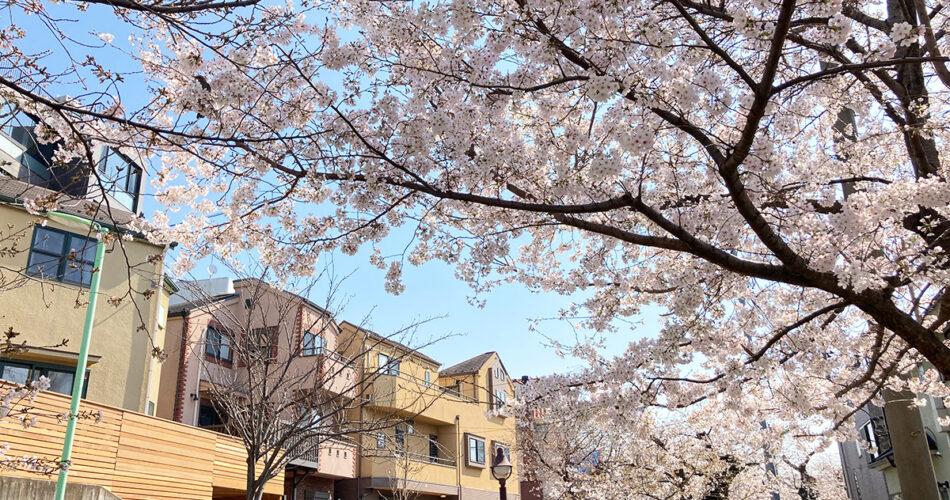 3月24日時点の北沢川緑道の桜の状況